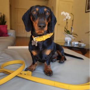 Monte & Co   Designer Dog Collar & Lead Leash in Mustard Gold Yellow by St Argo Melbourne
