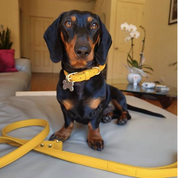 Monte & Co | Designer Dog Collar & Lead Leash in Mustard Gold Yellow by St Argo Melbourne