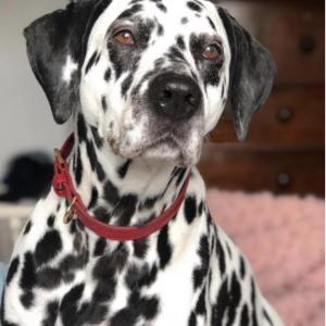 Monte & Co | Designer Dog Collar in Ruby Red by St Argo